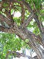 Agaete - Huerto de las Flores 9 Kalebassenbaum.jpg