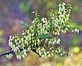 Agarista salicifolia 2.jpg