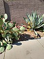 Agave and Prickly Pear.jpg