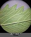 Agrimonia procera sl4.jpg