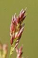 Agrostis.capillaris3.-.lindsey.jpg