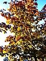 Ahornbaum im Herbst - panoramio.jpg