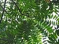 Ailanthus kurzii leaves.jpg