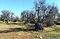 Alberi di olivo attaccati da xylella nell'agro di Gallipoli.jpg