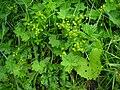 Alchemilla acutiloba plant (05).jpg