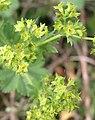 Alchemilla monticola inflorescence (18).jpg