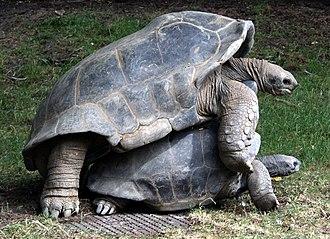 Aldabra giant tortoise - Mating Aldabra giant tortoises