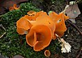 Aleuria aurantia fungus orange peel (second view).jpg