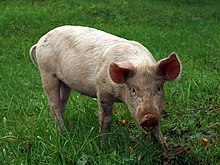 Cochon Image cochon — wiktionnaire