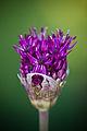 Allium (2520527550).jpg