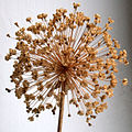 Allium Giganteum - Dried.jpg