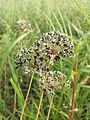 Allium angulosum sl13.jpg