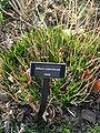 Allium caeruleum.JPG