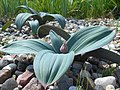 Allium karataviense 2017-05-06 9673.jpg