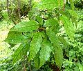 Allophylus dregeanus, loof, b, Manie van der Schijff BT.jpg