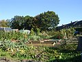 Allotments - Forest Avenue - geograph.org.uk - 1507792.jpg