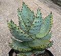 Aloe marlothii - Mountain Aloe - South Africa 2.JPG