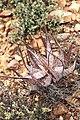 Aloe microstigma (Asphodelaceae Xanthorrhoeaceae) (40500974602).jpg