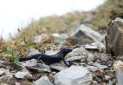 Une salamandre noire, en Autriche