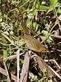Altamira Yellowthroat (Geothlypis flavovelata) female.jpg