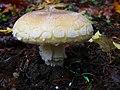 Amanita gemmata 103427073.jpg
