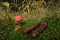 Amanita muscaria (30092619231).jpg