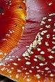 Amanita muscaria (5033703835).jpg