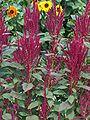 Amarant-Pflanze.jpg