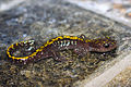 Ambystoma macrodactylum sigillatum, Plumas County, CA.jpg