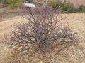 Amelanchier alnifolia (3288775409).jpg