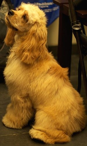American Cocker Spaniel - An American Cocker Spaniel with a golden coat.