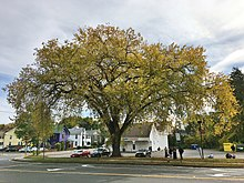 American Elm Tree, Old South Street, Northampton, MA - October 2019.jpg