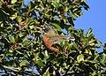 American Robin eating Holly berries (45470327275).jpg