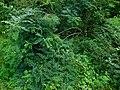 Amorpha fruticosa - bagremac na obali Grliške reke.jpg