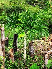 Amorphophallus variabilis vegetative sm.jpg