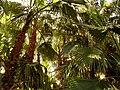 Anamurda Palmiyeler - panoramio.jpg