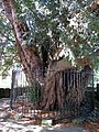 Ancient yew at All Saints', Gresford - geograph.org.uk - 1464989.jpg