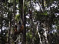 Andasibe-Mantadia National Park 2013 16.jpg