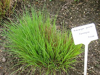 Andropogon gerardi - New growth in May at the Berlin Botanical Garden