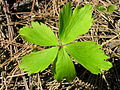 Anemone leaf (5097823056).jpg