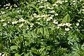 Anemone narcissiflora 12.jpg