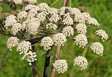 Angelica sylvestris - цваст