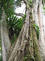 Angsana Tree at Youngberg Terrace 3.JPG
