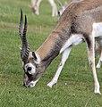 Antelope (3867968390).jpg