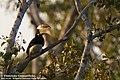 Anthracoceros coronatus -Wilpattu National Park, Sri Lanka-8.jpg
