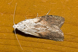 A male bee moth, Aphomia sociella. Image from Wikimedia Commons.