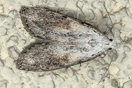 Aphomia sociella01(js), Lodz(Poland).jpg