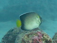 Yellowtail angelfish Apolemichthys xanthurus