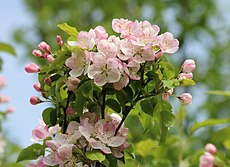 Apple-tree blossoms 2017 G3.jpg