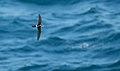 Apus pacificus -Japan -flying-8 (1).jpg